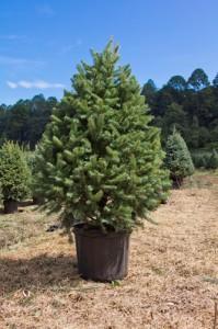 árbol navidad en maceta